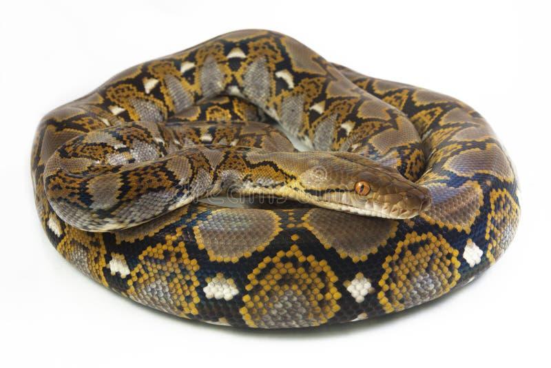 Reticulatus de python de python r?ticul? photo libre de droits