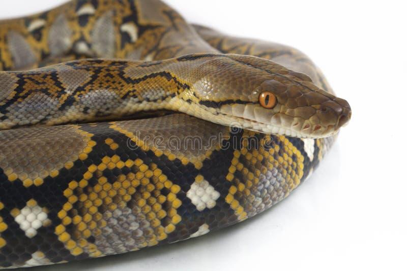 Reticulatus de python de python r?ticul? photos libres de droits