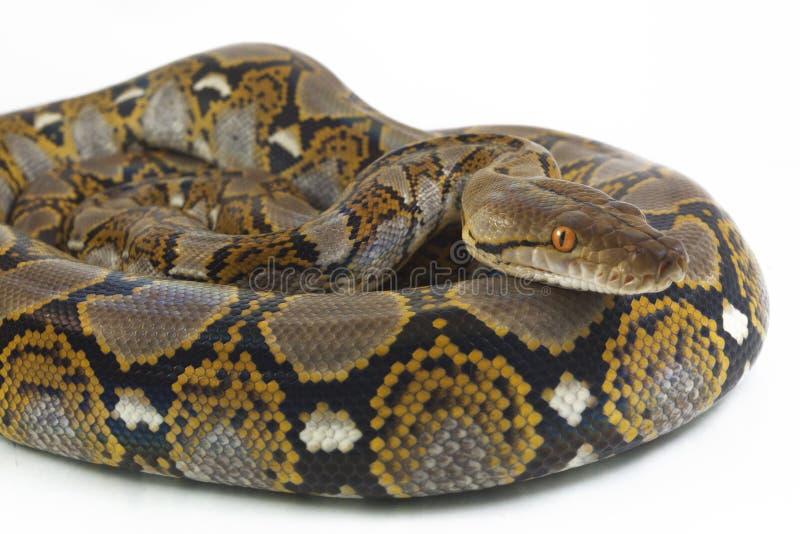 Reticulatus de python de python r?ticul? photo stock