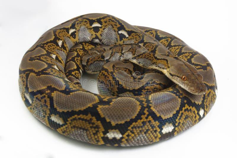 Reticulatus de python de python r?ticul? images stock