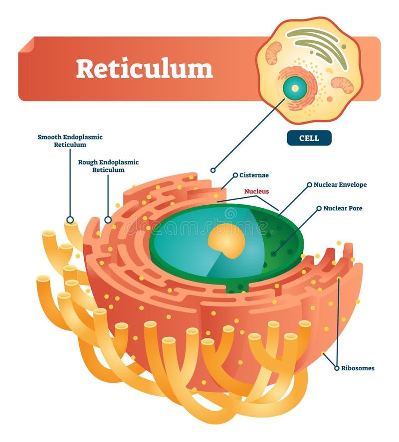 Reticulum labeled vector illustration scheme. Anatomical diagram with endoplasmic reticulum, cisternae, nucleus and ribosomes. Reticulum labeled vector vector illustration