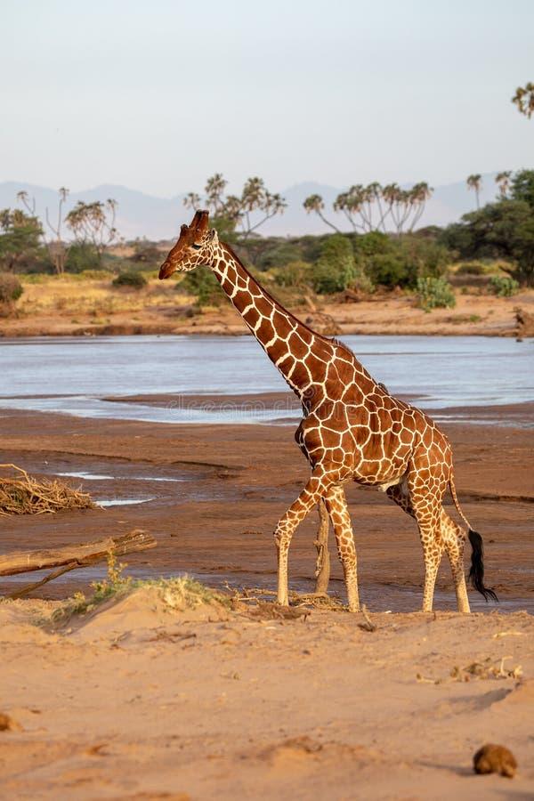 Retikulierte Giraffe in dem Fluss in Kenia, Afrika stockfotografie