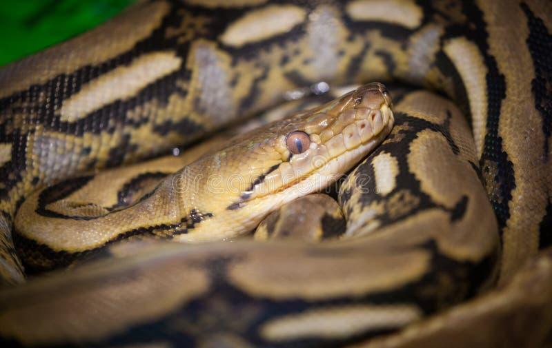 Retikulierte Pythonschlange stockfotografie