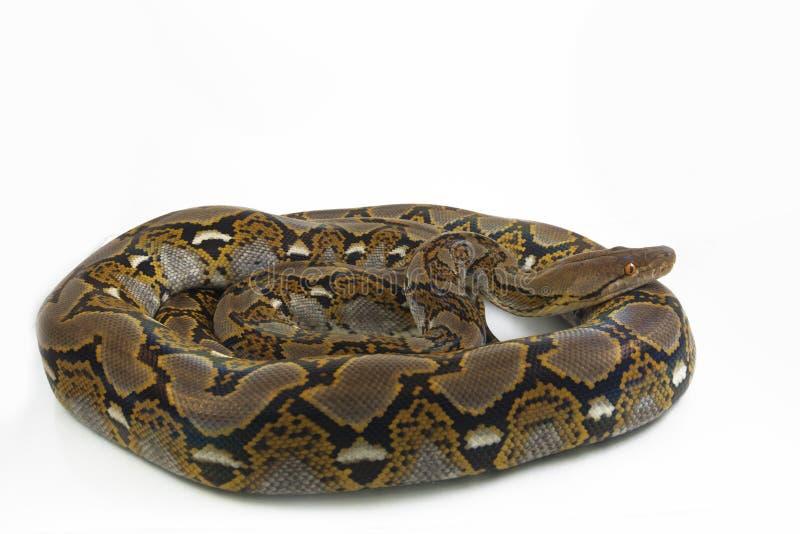 Retikulierte Pythonschlange Pythonschlange reticulatus lizenzfreies stockbild