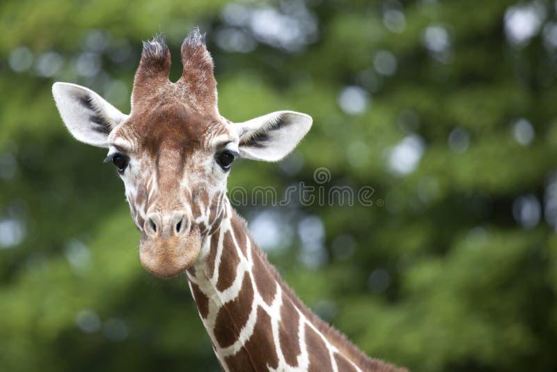 retikulierter giraffen kopf und hals stockbild bild von. Black Bedroom Furniture Sets. Home Design Ideas