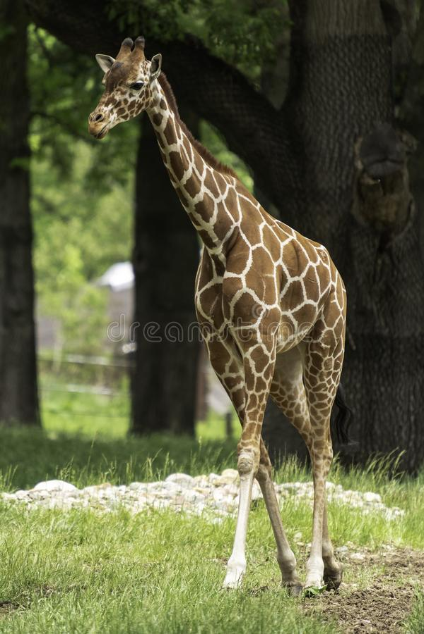 Retikuliertes Giraffe Giraffa camelopardalis reticulata stockfoto