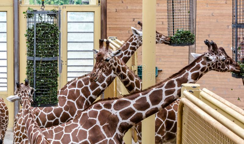 Retikuliertes Giraffen Giraffa camelopardalis reticulata, alias die somalischen Giraffen, essend Seine unterscheidende Fellzeichn lizenzfreie stockfotos