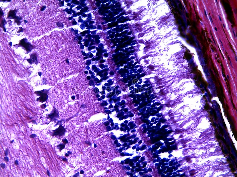 Retina humana sob o microscópio imagens de stock royalty free