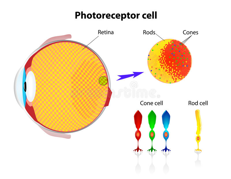 Retina. Rod cells and cone cells. Vector stock illustration