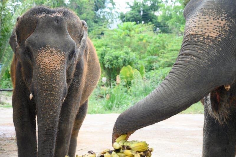 Female elephants at banana buffet stock photos