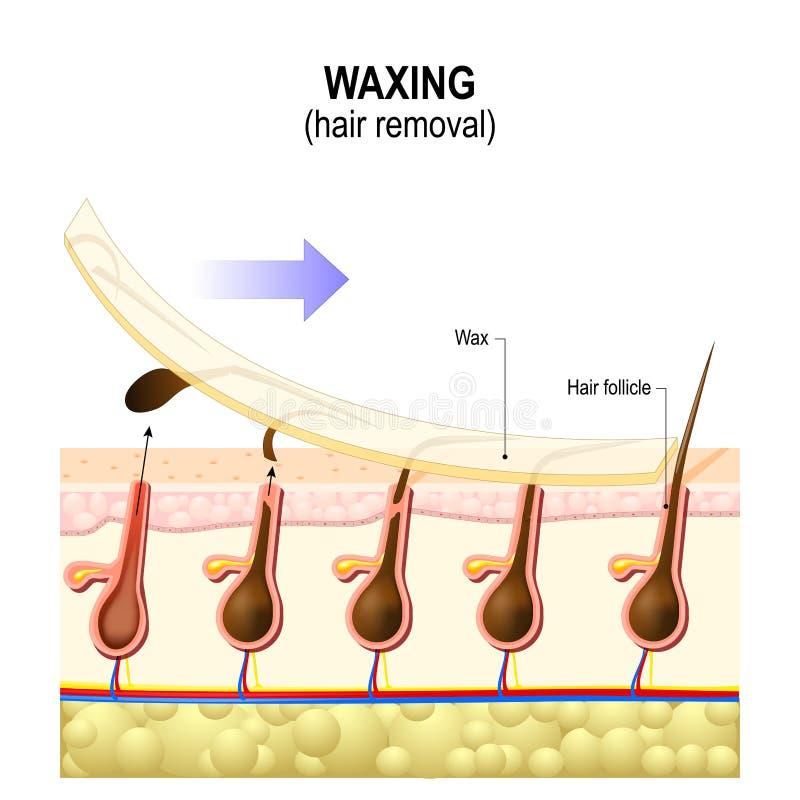 Retiro del pelo waxing stock de ilustración