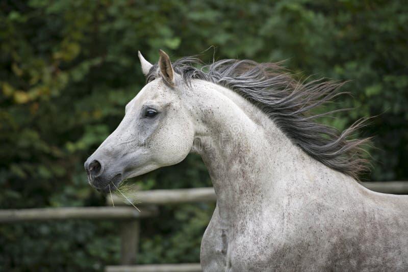 Retrato árabe de la cabeza de caballo foto de archivo libre de regalías