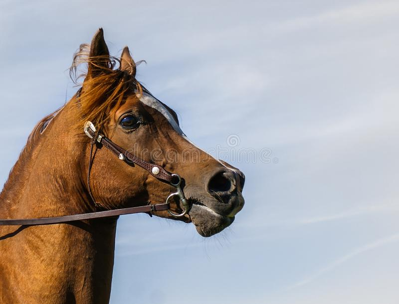 Retrato árabe del perfil del caballo imágenes de archivo libres de regalías