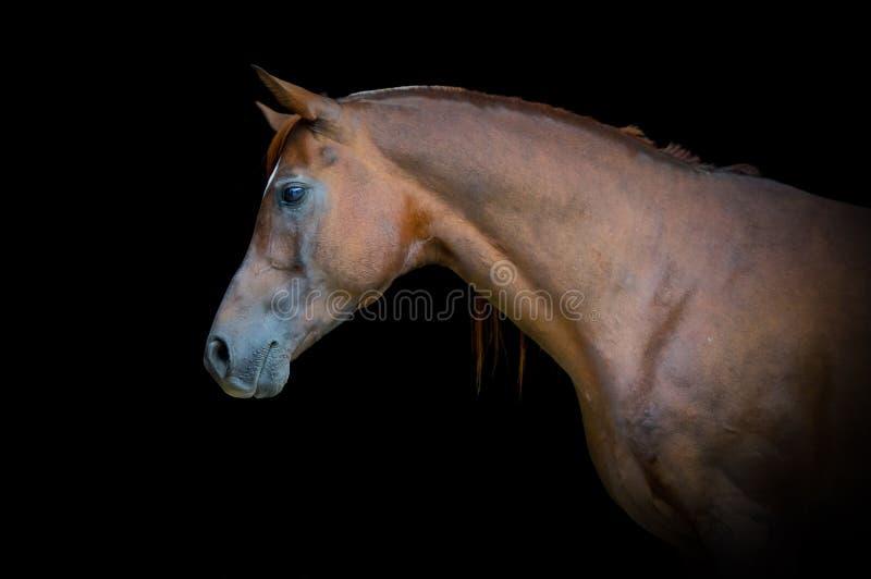 Retrato árabe do cavalo de baía no fundo preto imagem de stock