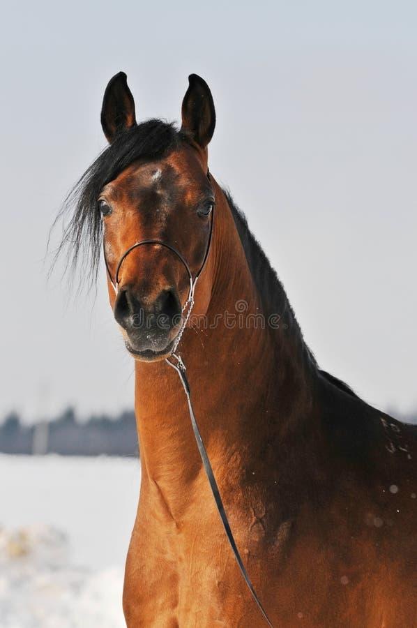 Retrato árabe do cavalo do louro imagens de stock