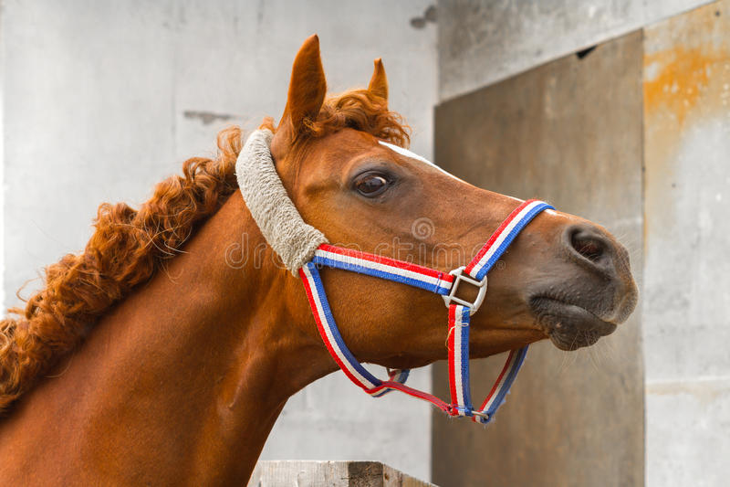 Retrato árabe do cavalo do siglavi fotos de stock