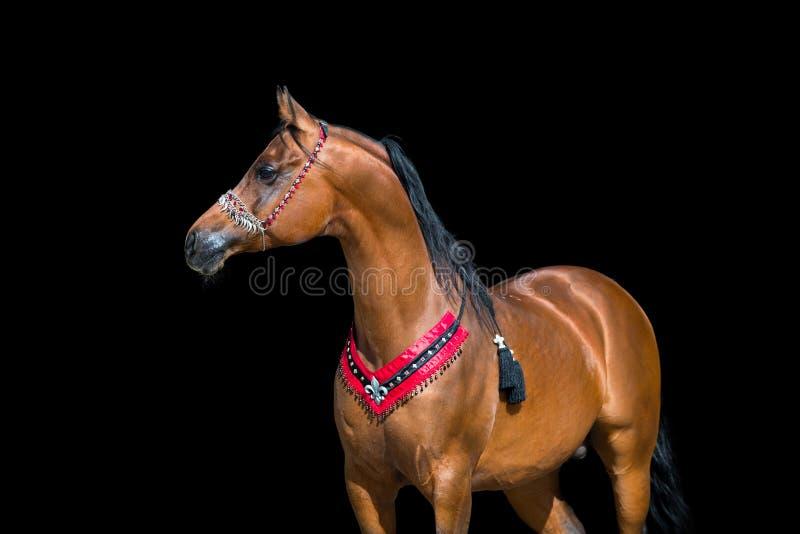 Retrato árabe do cavalo no fundo preto imagem de stock royalty free