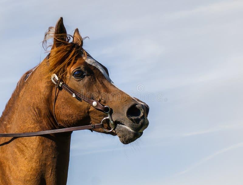 Retrato árabe do perfil do cavalo imagens de stock royalty free