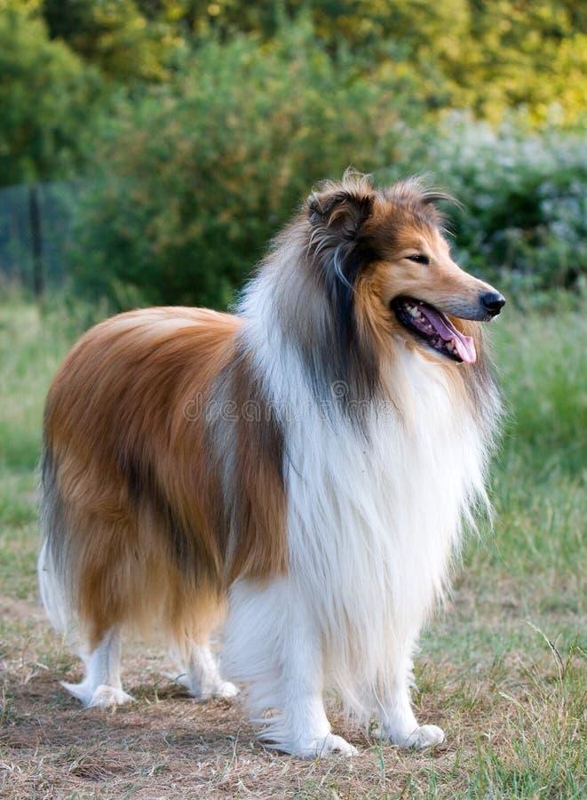 Retrato áspero do cão do Collie fotografia de stock royalty free