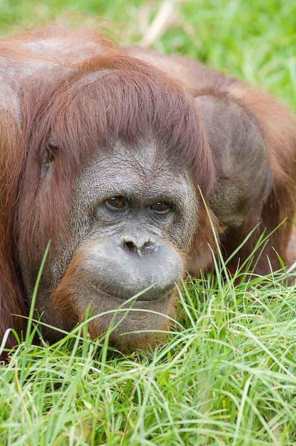 Retrato 03 do macaco fotografia de stock royalty free