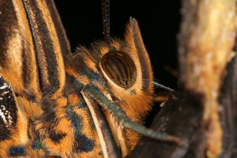 Retrato 3 de la mariposa tropical fotografía de archivo