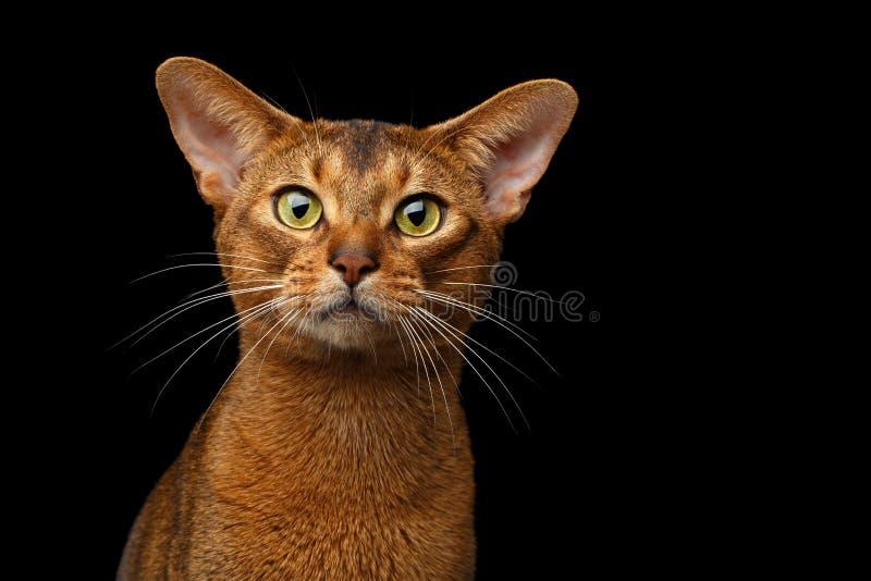 Retrato abisinio criado en línea pura del gato del primer aislado en fondo negro imágenes de archivo libres de regalías