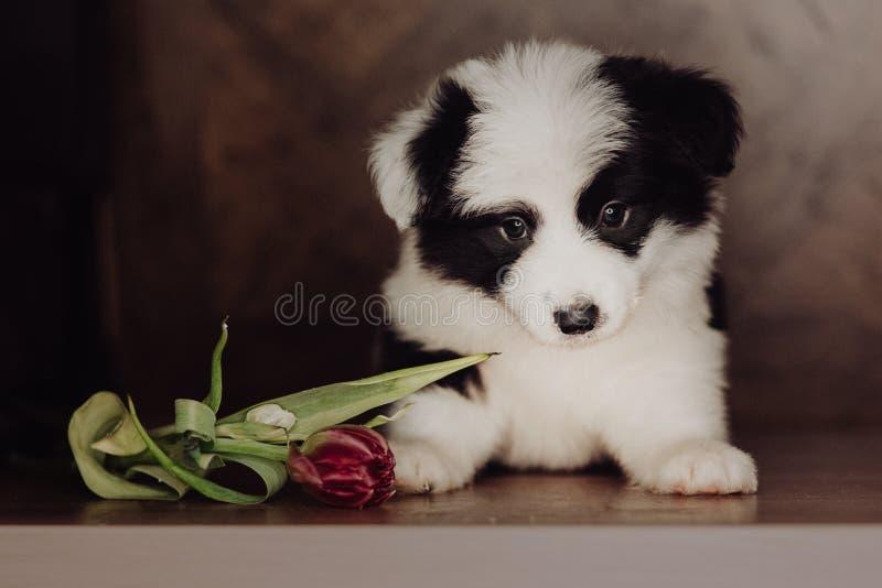 Retrato adorável do cachorrinho preto e branco saudável e feliz de surpresa de border collie imagens de stock royalty free