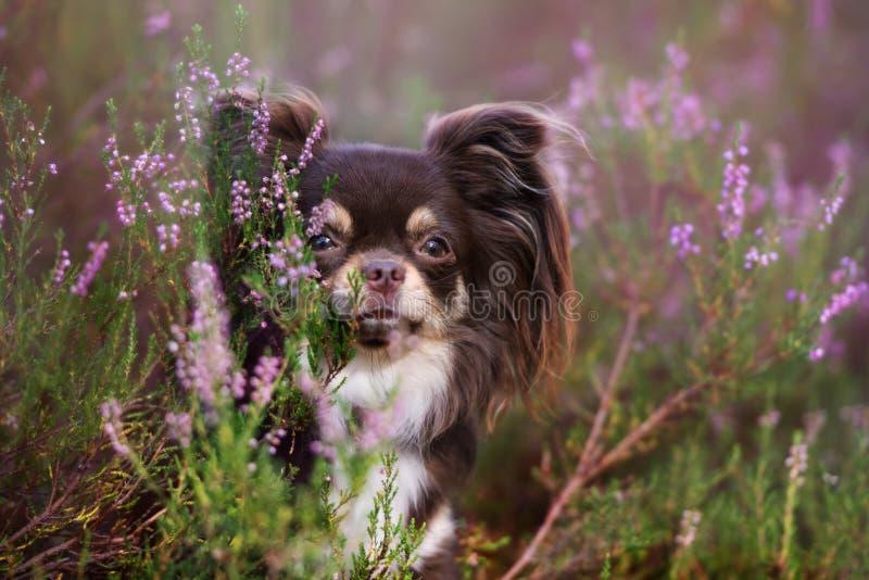 Retrato adorable del perro de la chihuahua en brezo fotos de archivo libres de regalías