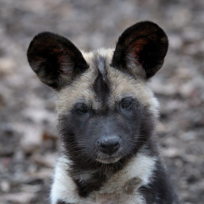 Retrato africano do filhote de cachorro do cão selvagem imagens de stock