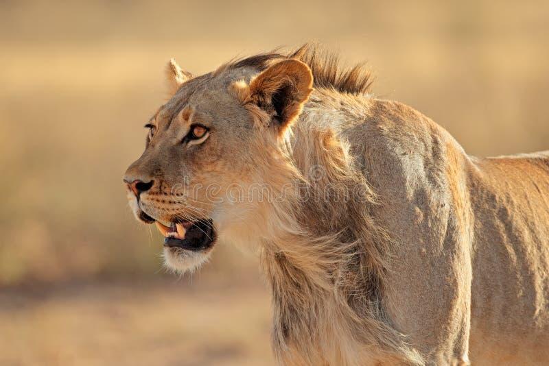 Retrato africano do leão imagens de stock