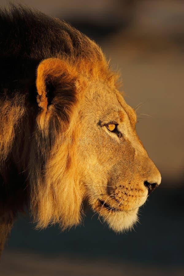 Retrato africano do leão imagem de stock