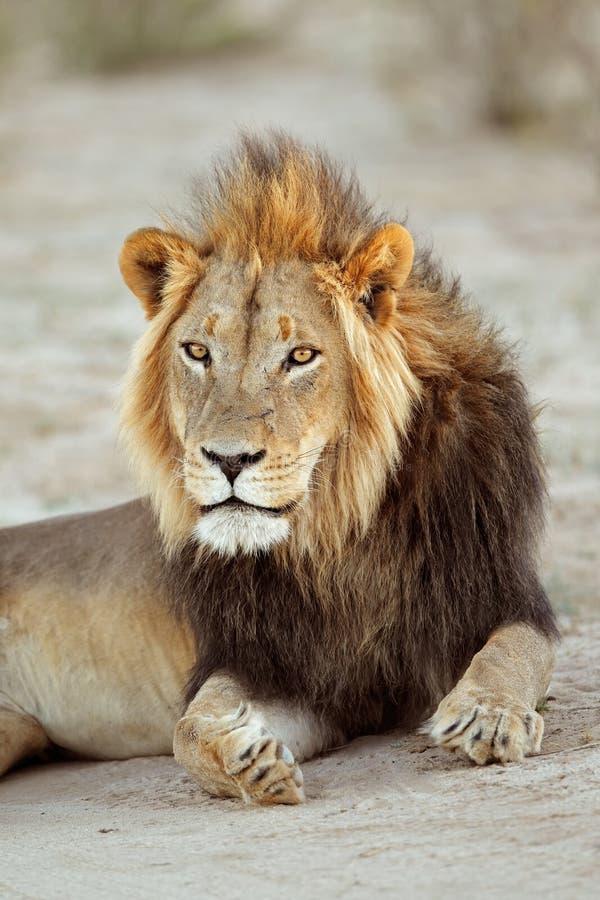 Retrato africano do leão foto de stock