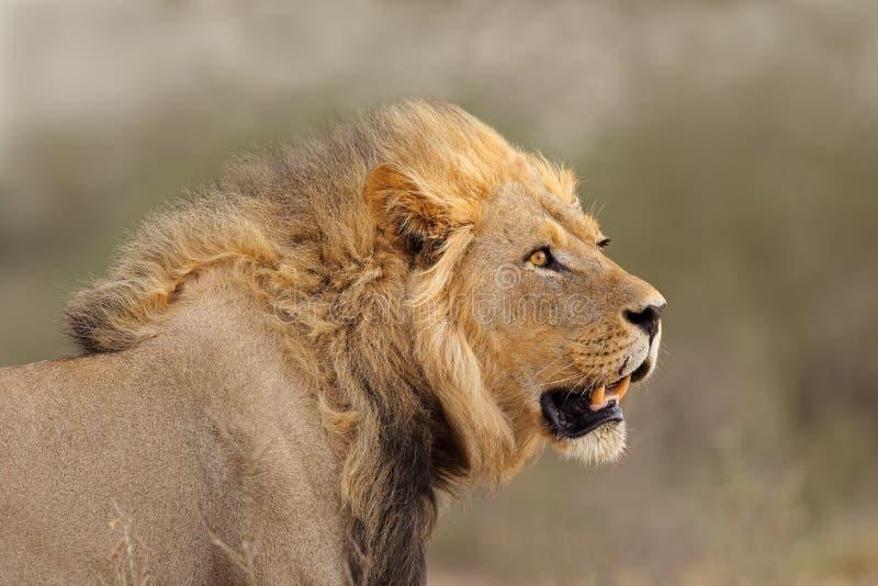 Retrato africano do leão - deserto de Kalahari fotos de stock royalty free
