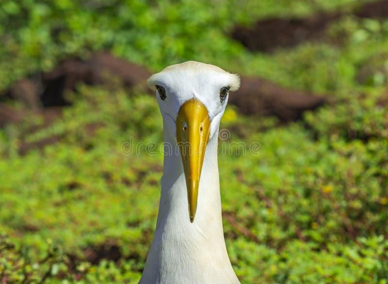 Retrato agitado del albatros, las Islas Galápagos, Ecuador foto de archivo