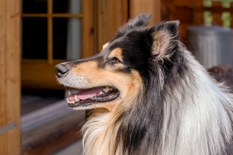 Retrato agradável de um Scottisch lindo ou de uma collie escocêsa, áspera fotos de stock