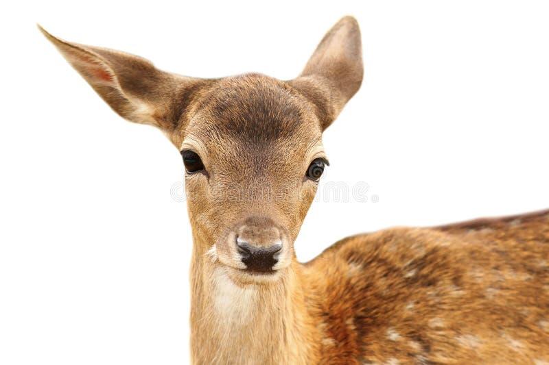 Retrato aislado del becerro de los ciervos en barbecho imagen de archivo