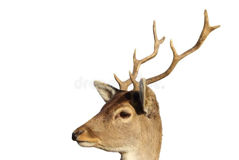 Retrato aislado del dólar joven de los ciervos en barbecho imágenes de archivo libres de regalías