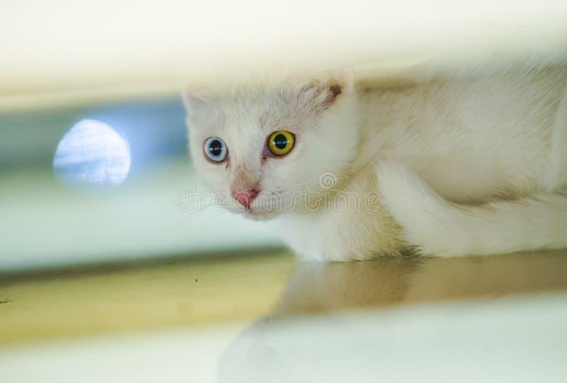Retrato aislado del gato hermoso blanco con diversos ojos asombrosos del color, un azul del ojo en el marrón que juega en casa en imágenes de archivo libres de regalías
