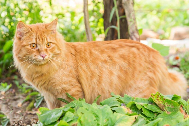 Retrato alaranjado vermelho bonito da vaquinha do gato fora na grama verde fotografia de stock
