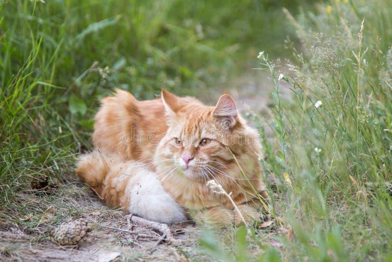Retrato alaranjado vermelho bonito do gato foto de stock