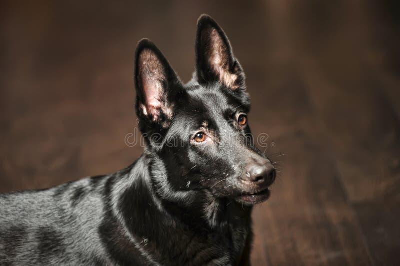 Retrato alemán negro del perro pastor imagenes de archivo