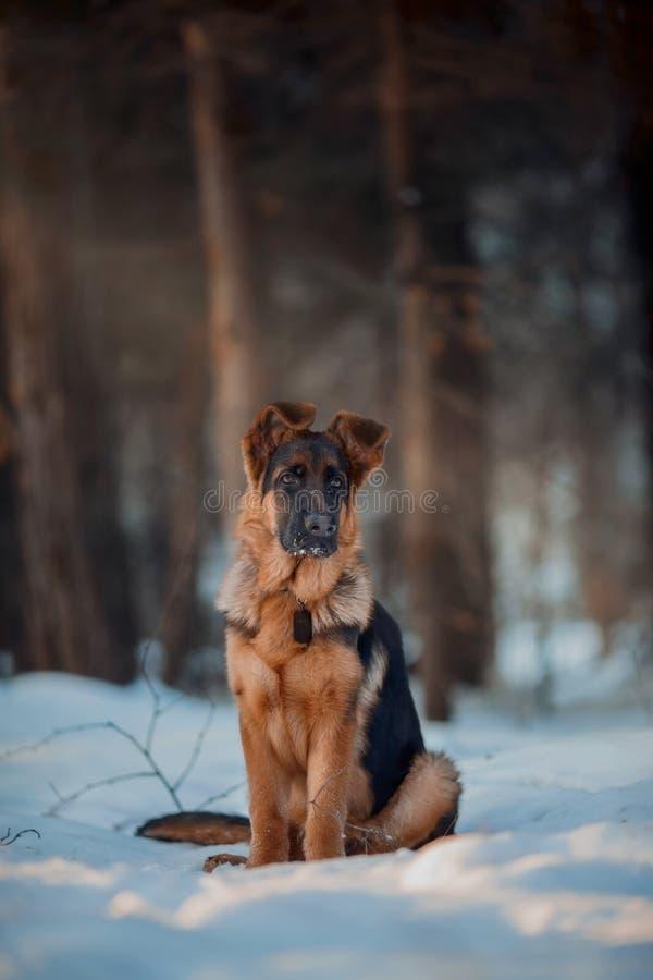 Retrato alemán rojo del invierno del perrito del shepard imágenes de archivo libres de regalías