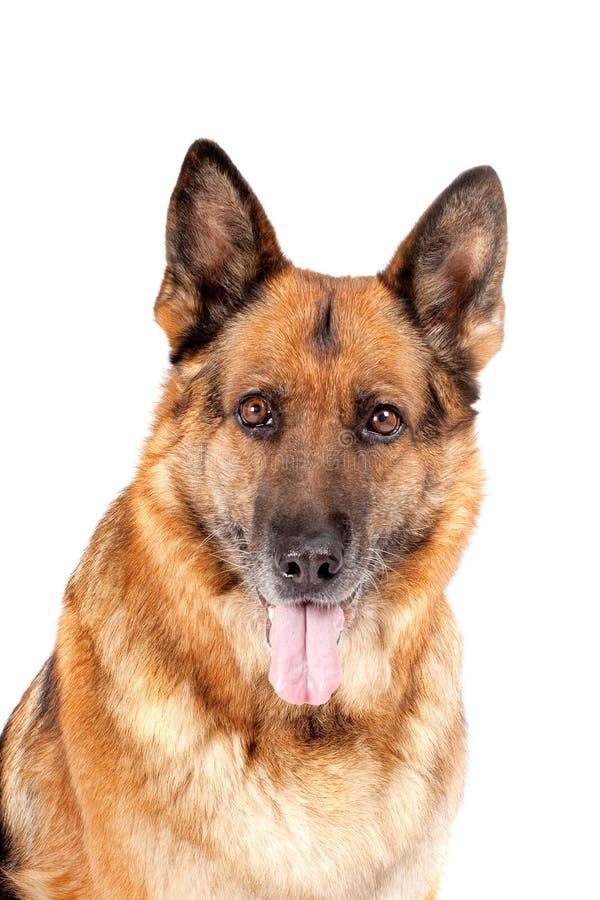 Retrato alemão do sheepdog fotografia de stock royalty free