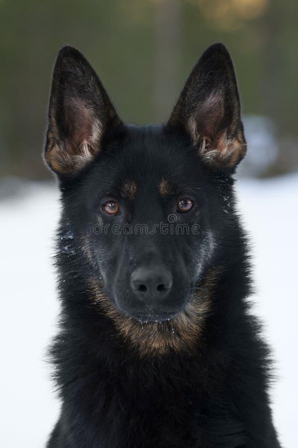 Sheepdog alemão preto imagem de stock