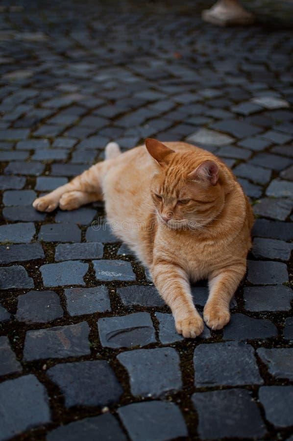Retrato amarillo del gato del jengibre fotografía de archivo libre de regalías