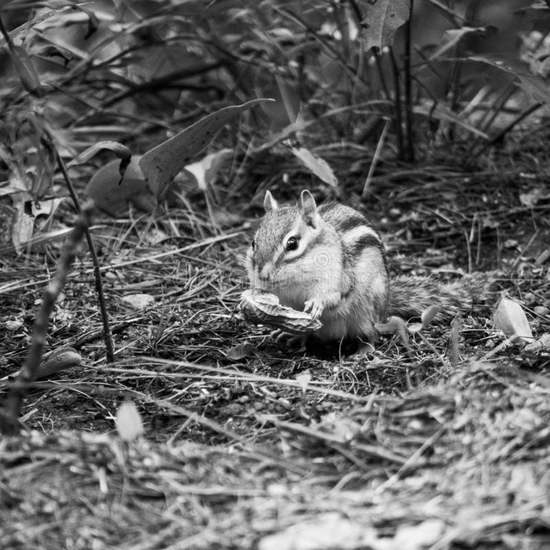 Retrato ambiental preto e branco do esquilo fotos de stock royalty free