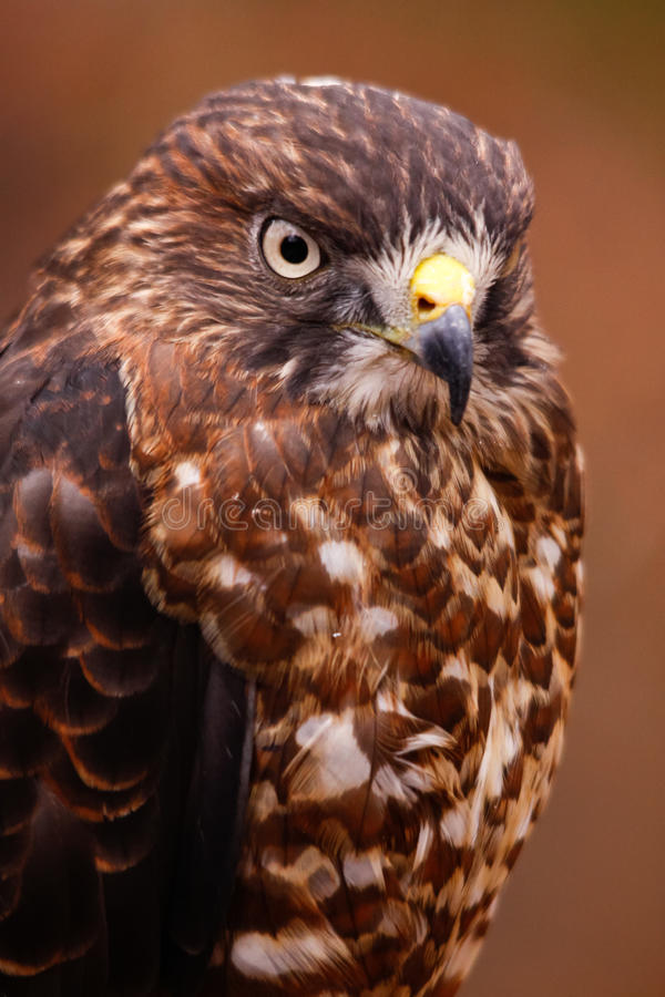 retrato Amplio-con alas del halcón imagenes de archivo