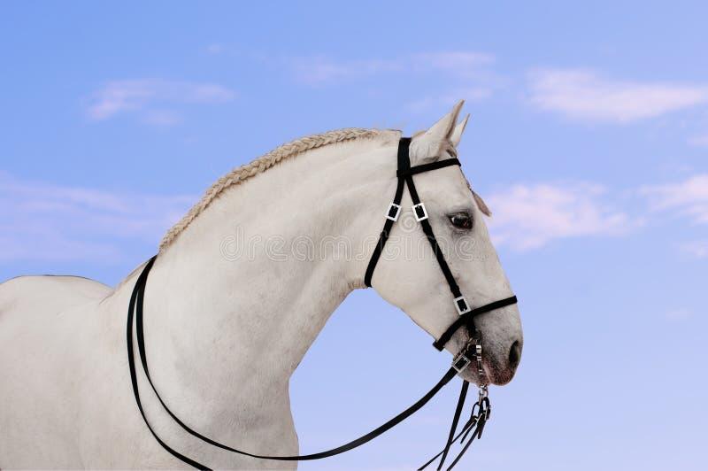 Retrato andaluz hermoso del caballo con el cielo azul foto de archivo