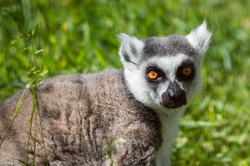 Retrato Anel-atado do close up do lêmure, um grande primata cinzento com olhos dourados fotos de stock royalty free