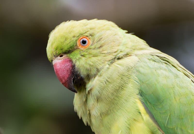 Retrato Anel-necked indiano do close-up do periquito fotografia de stock royalty free